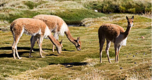 Emily Wakild: Vicuña Culling and Conservation